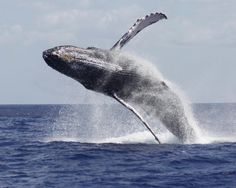 Marine Biologist Lynn Sutherland took this pic off the west coast of Oahu, Hawaii.  Lynn is one of the marine biologists that work with us at Under the Sea Hawaii.  You can come out with her and see this for yourself - AND watch the whales underwater from our unique glass bottom hydrofoil.