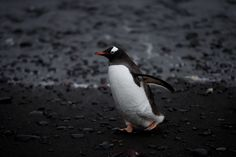 In this Jan. 26, 2015 photo, a Gentoo penguin waddles past on the shore of  Punta Hanna, Livingston Island, South Shetland Island…