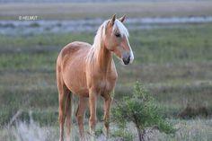 High desert wild horses, California. Photo by Helmut Hussman.