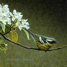 Magnolia Warbler & Pear Blossoms - bird painting by W. Allan Hancock