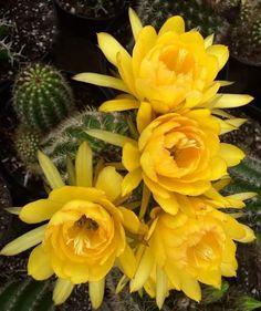 Las flores de cactus tienen su gran encanto. Belleza que nace entre espinas.