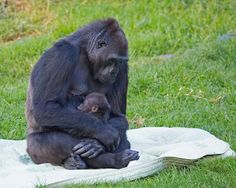 5 month old Kadile amd doting grandmother, Bawang. - Photos: May Woon and Marianne Hale/SF Zoo