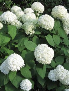 If you're seeking an easy care plant with showstopping summer blooms, look no further. White Wedding Hydrangea can take heat and cold as well as heavy winter pruning. Hydrangea Landscaping, Hydrangea Garden, Back Gardens, Outdoor Gardens, Kew Gardens, White Flowers, Beautiful Flowers, Annabelle Hydrangea, Easy Care Plants