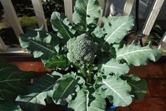 Broccoli plants can sprawl 2-3 feet, even growing in containers.