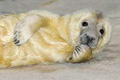 """ Seal Pup, Baby Seal, African Wild Cat, Black Footed Cat, Wild Cat Species, Baby Animals, Cute Animals, Brookfield Zoo, Philadelphia Zoo"