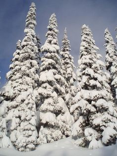 snow covered pines, reminds me of childhood growing up in the woods.