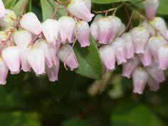 Little pink bell flowers flowers flower and perennials little bell flowers mightylinksfo