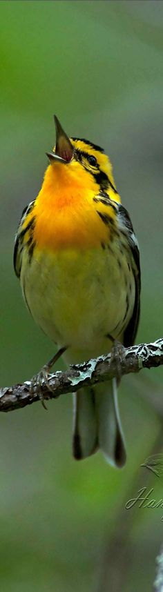 A Blackburnian Warbler Singing his Heart out!!
