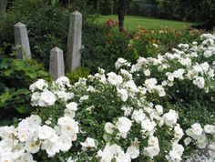 Monrovia Flower Carpet® White Groundcover Rose Rosa x 'Noaschnee'