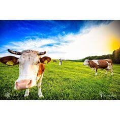 New Editor's Choice @mywed | www.cristians.ro . . . . . #afterwedding #happy #smile #huffpostido #instawed #instapic #instagood #instalove #trashthedress #romaniawedding #targumures #Transylvania #Romania #nikon #d750 #nikond750 #bride #fun #traditional #farm #cow#field #pin #joy #mywed #editorschoice #moment #redflag #cow #field #grass