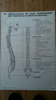 De wervelkolom en haar verbindingen met weefsels, klieren en organen.