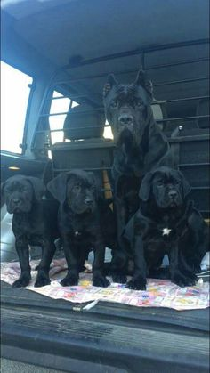 Cane corso a car full of badness! Cane Corso Italian Mastiff, Cane Corso Mastiff, Cane Corso Dog, Cane Corso Puppies, Big Dogs, I Love Dogs, Cute Dogs, Dogs And Puppies, Doggies