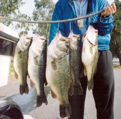 Nice string of large mouth bass. Do you catch great strings of bass like this. Well I do all the time and I'm sharing my secrets with you. Just CLICK THE PHOTO for all the great bass fishing information.
