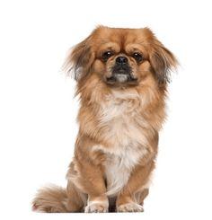 Grooming 101: Dog Ears and Wrinkles    http://www.pekinews.com/how-to-groom-pekingese-dogs-ears-and-wrinkles/