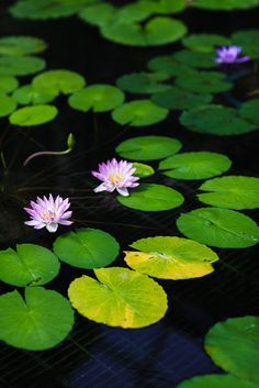 Water lily in Sri Lanka | See More Pictures | #SeeMorePictures