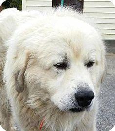3/17/16 Lexington, KY - Great Pyrenees. Meet Marley, a dog for adoption. http://www.adoptapet.com/pet/15119293-lexington-kentucky-great-pyrenees