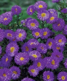 Purple Dome Fall Blooming Perennial Aster - Hardy - Quart Pot
