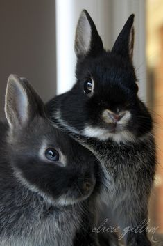 My favorite- Netherland dwarf bunny Cute Baby Bunnies, Funny Bunnies, Cute Baby Animals, Animals And Pets, Beautiful Creatures, Animals Beautiful, Dwarf Bunnies, Bunny Rabbits, Bunny Bunny