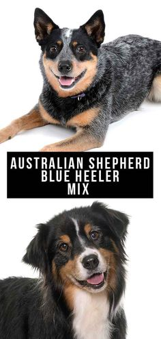 The Australian Shepherd Blue Heeler mix combines two intelligent and energetic dogs. Find out more in our complete guide to the Texas Heeler. Australian Shepherd Blue Heeler, Australian Shepherds, Austrailian Cattle Dog, Shepherd Mix Dog, Farm Dogs, Purebred Dogs, Mixed Breed, Working Dogs, Puppys