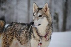 Tamaskan- Looks like a wolf!
