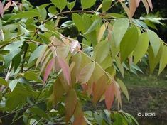 JIRCAS : Syzygium gratum : Local Vegetables of Thailand : Color illustrated Thailand, Leaves, Vegetables, Planting, Illustration, Projects, Color, Eat, Plants