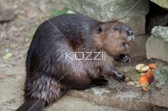 beaver got appetite - Beaver having a feast on carrots, fruits and pellets.