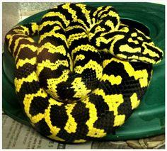 Cobra amarelo e preto-  Piton carpete-   (480×435)