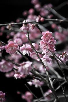 Cherry blossoms in bloom, Shizuoka, Japan