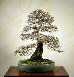 ulmus bonsai
