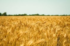 Love my Kansas wheat fields! I'll probably never drive a combine again but love those memories!
