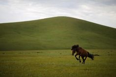 A horse is tied as part of its training to be a racing horse at an area of grasslands located 43 miles from the Mongolian capital city Ulan Bator, June 26, 2013. REUTERS-Carlos Barria