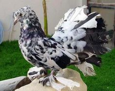 Black Grizzled Indian Fantail Show Pigeon