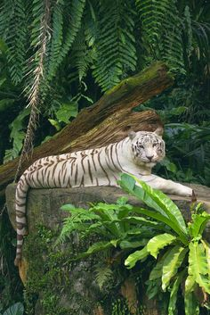Tigre Blanc du Benghal - What is rewilding? Nature Animals, Animals And Pets, Jungle Animals, Wild Animals, Wildlife Nature, Beautiful Cats, Animals Beautiful, Beautiful Creatures, Beautiful Things