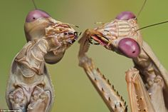 The dancing mantises were captured by Polish research scientist Igor Siwanowizc, who spend...