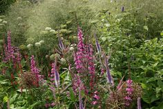 Sarah Price Landscapes | Olympic Great British Garden | Ornamental grasses provided a textural foil to the brighter details of long-flowering perennials such as Persicaria amplexicaulis, Stachys officinalis, Veronicastrum and pink Lythrum virgatum.