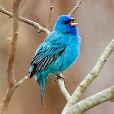 """Indigo bunting, """"OH WHAT A BEAUTIFUL MORNING, OH WHAT A BEAUTIFUL, I'VE GOT A WONDERFUL FEELING, EVERYTHING'S GOING MY WAY!"""""""