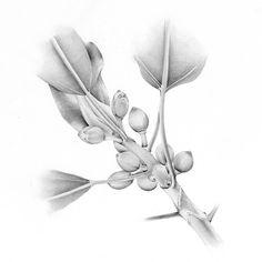 Isilda Marcelino - Ficus macrophylia. Grafite