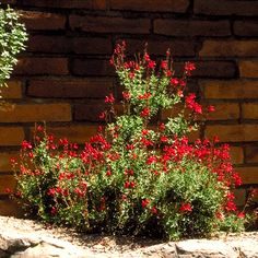 Salvia greggii, Cherry Sage in full bloom