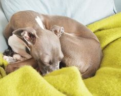Snuggly doggy blanket/ Italian greyhound <3