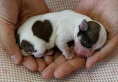 """Valentine's Day: hearts in Nature. A long-coated male chihuahua named """"Love-kun"""" with a heart-shaped pattern on his coat sleeps at Pucchin Dog's shop in Odate, northern Japan"""