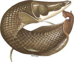 View Arapaima gigas (Arapaima) on the Animal Diversity Web. Fish Drawings, Animal Drawings, Ancient Fish, Stingray Fish, Living Fossil, Dragon Fish, Antique Illustration, Exotic Fish, Fish Art
