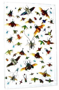 Flying Beetles acrylic display