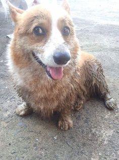 Mud? What Mud? Corgi spring, a muddy low rider.