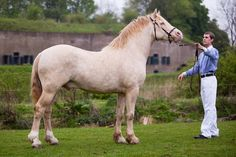 Perline Welsh Cob stallion Sublime Sponté