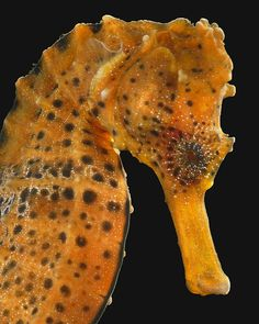 Did you know that male Longsnout Seahorses incubate the eggs until birth?
