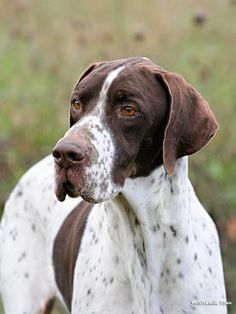 English Pointer, talk about majestic -- My Jessie is an English Pointer.