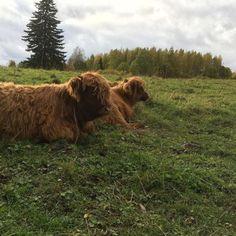 Highland Cattle Of Saarela