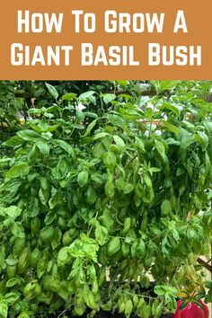 If your basil plant isn't yielding enough leaves for pesto, then here's a clever little secret to growing your basil plant into a giant bush. Vegetable Garden Tips, Container Gardening Vegetables, Veg Garden, Edible Garden, Lawn And Garden, Bush Garden, Growing Herbs, Growing Vegetables, Organic Gardening