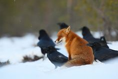 Fox and ravens in the snow