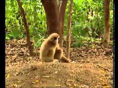 Un singe rend fou deux tigres http://www.15heures.com/videos/singe-rend-fou-tigres-3352.html #LOL